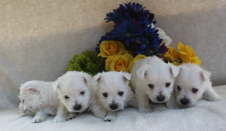Minnie and Dually's Litter – ALL SOLD
