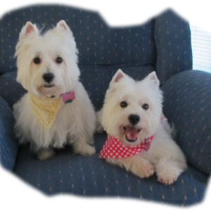2 WESTIES IN A CHAIR copy