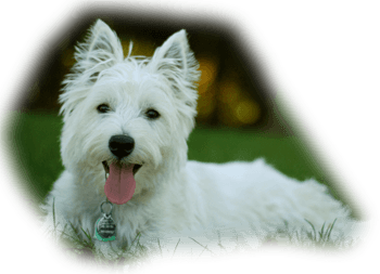 WESTIE-IN-GRASS-compressor