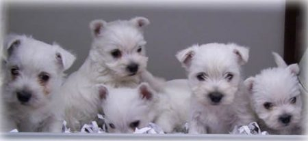 West Highland White Terrier Puppies for Sale