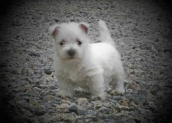 west highland terrier puppy standing on rocks
