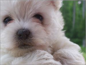 Westie Puppies For Sale & West Highland Terrier Litters