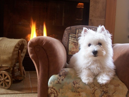 westie sitting on chair in front of a fire