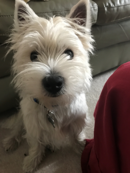 male white west highland terrier