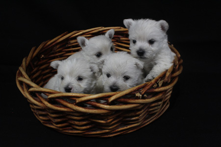 Diamond and Jackson's Litter – ALL SOLD