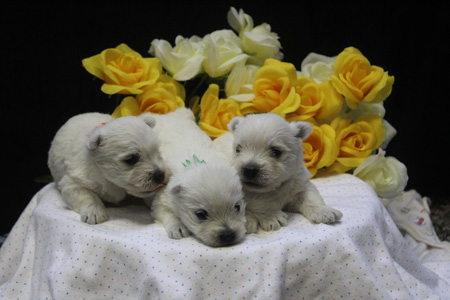 Iris and Barnabus' Litter – ALL SOLD