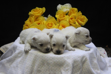 Trixie and Popeye's Litter – ALL SOLD