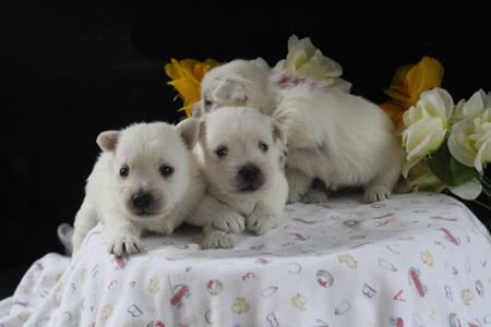 Uma and Dually's Litter – ALL SOLD
