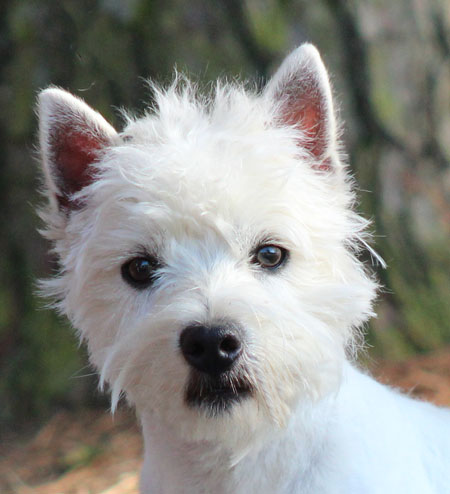 West Highland Puppies & Westies for Sale | Arrowhead Acres