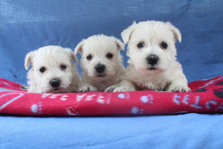Layla and Deacon's Litter – ALL SOLD