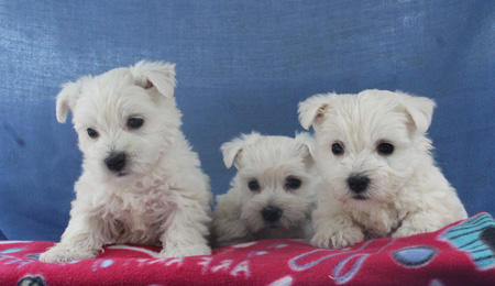 Tundra and Jackson's Litter – ALL SOLD