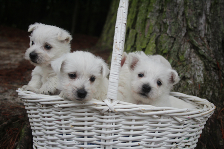 Miracle and Deacon's Litter – ALL SOLD