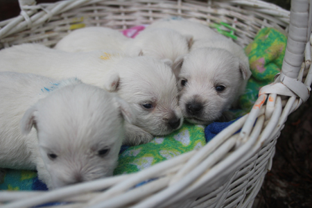 Trixie and Deacon's Litter – All Sold