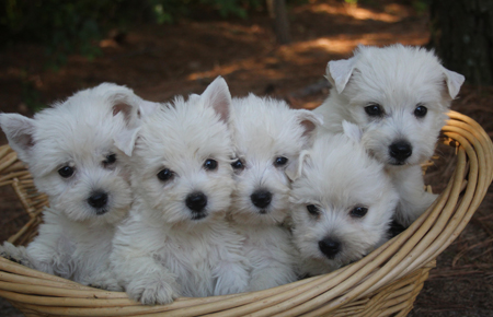 Daisy and Sonny's Litter – ALL SOLD