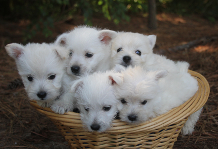 Ellie and Ike's Litter – ALL SOLD