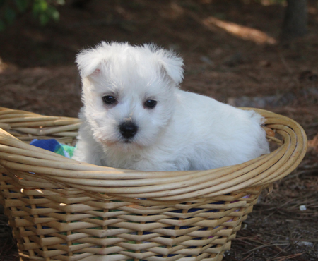 Star and Jackson's Litter – ALL SOLD