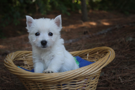 Uma and Popeye's Litter – ALL SOLD