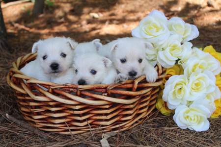 Daisy and Wilbur's Litter – ALL SOLD