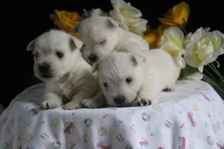 Elsa and Wilbur's Litter – ALL SOLD