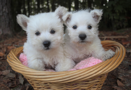 Maggie and Ike's Litter – ALL SOLD