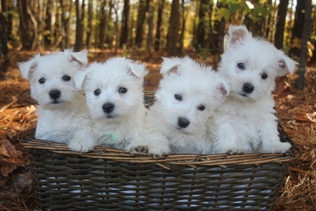 Annie and Tonka's Litter – ALL SOLD