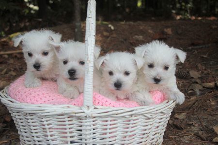 Violet and Deacon's Litter – ALL SOLD