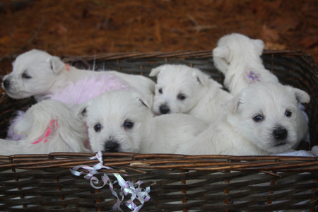 Beretta and Deacon's Litter – ALL SOLD
