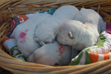 Star and Deacon's Litter – ALL SOLD