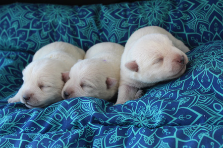 Charity and Yogi's Litter – ALL SOLD