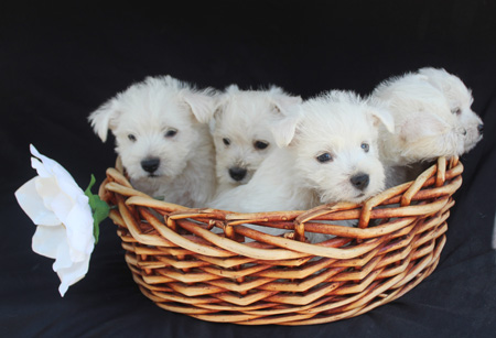 Petunia and Jackson's Litter – ALL SOLD