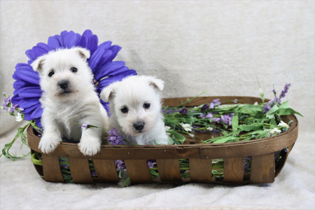 Honor and Wilbur's Litter – ALL SOLD