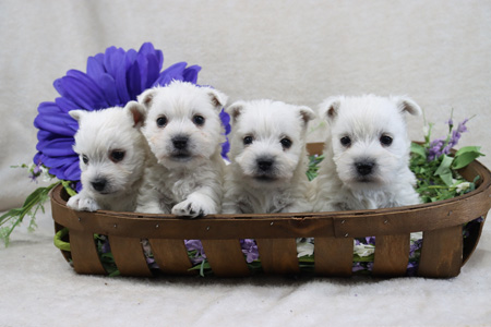 Iris and Yogi's Litter – ALL SOLD