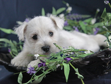 Star and Orville's Litter – ALL SOLD