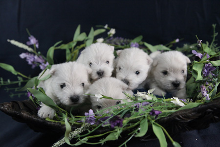 Minnie and Gideon's Litter – ALL SOLD