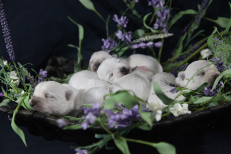 Ellie and Popeye's Litter – ALL SOLD