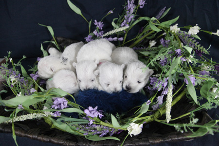 Fae and Gideon's Litter – ALL SOLD