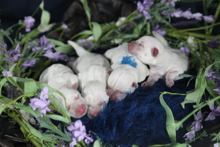 Piper and Remy's Litter – ALL SOLD