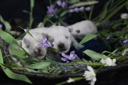 Roxie and Popeye's Litter – ALL SOLD